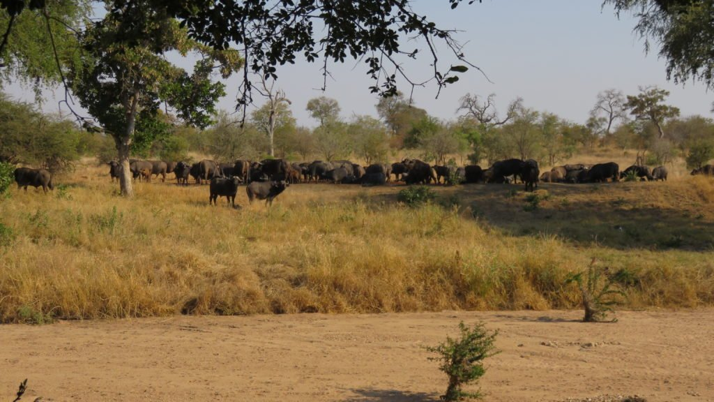Buffalo at the waterhole